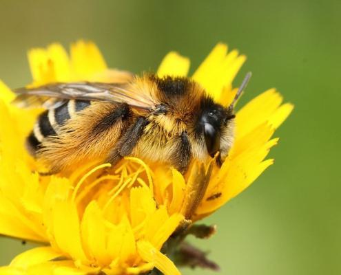 Krafttiere: Die Biene