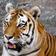 Heilige Tiere: Der Tiger