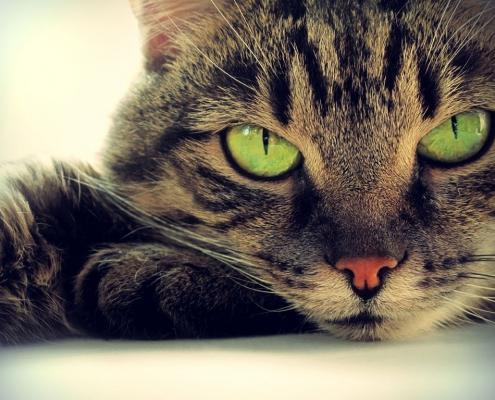 Krafttiere: Die Katze
