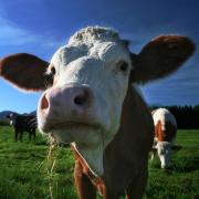 Heilige Tiere Indiens: Die Kuh