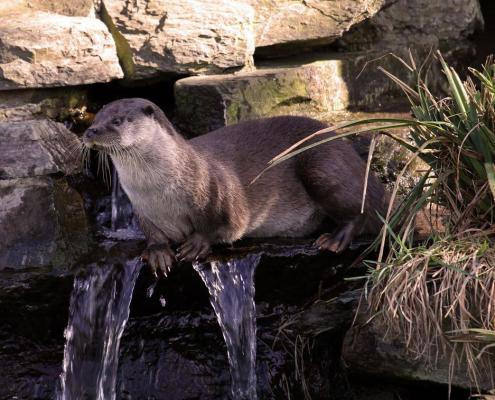 Krafttiere: Der Otter