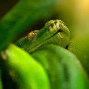 Der Schlangenträger