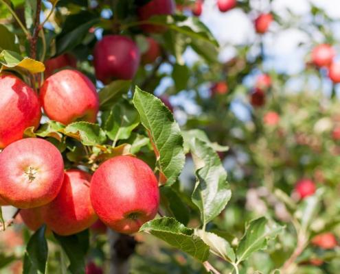 Der Apfelbaum und die paradiesische Frucht
