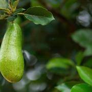 Der Avocado-Baum - eine aphrodisierende Zauberpflanze