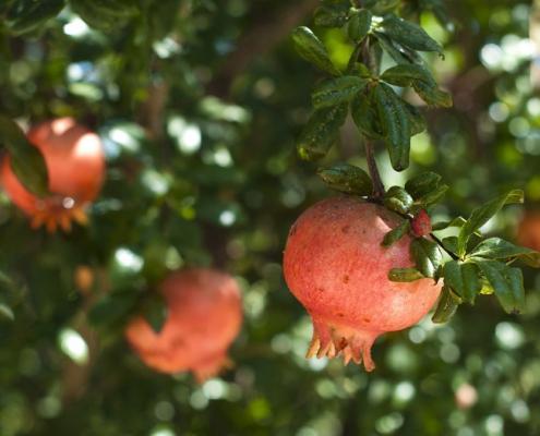 Der spirituelle Charakter des Granatapfelbaumes