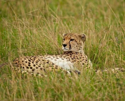 Krafttiere: Der Gepard