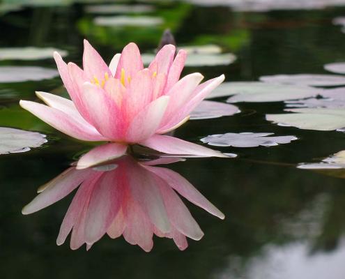 Lotus – Der Phoenix der Blumen