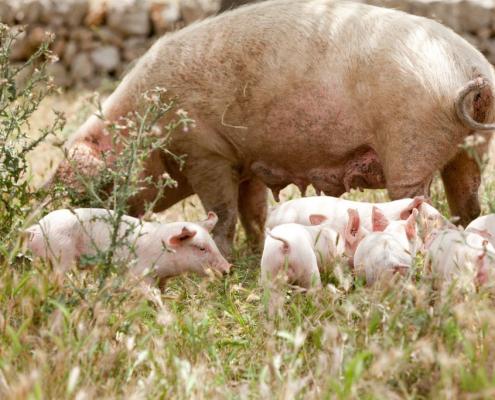 Krafttiere: Das Schwein