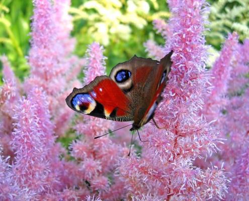 Traumdeutung: Schmetterling